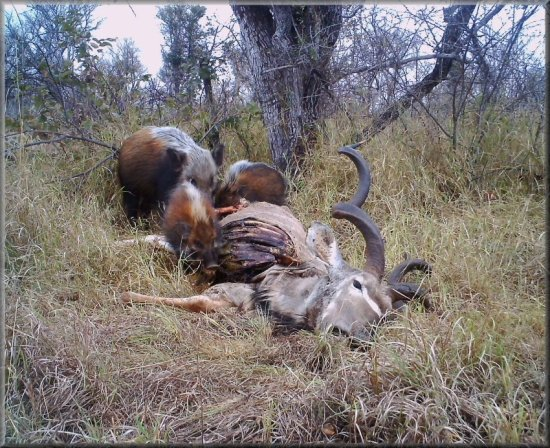 Kudu carcass visited by bush pig and piglets