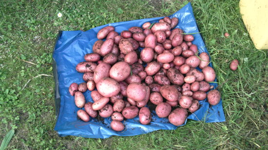 Tatties spuds potatoes....What do you call them where you live???