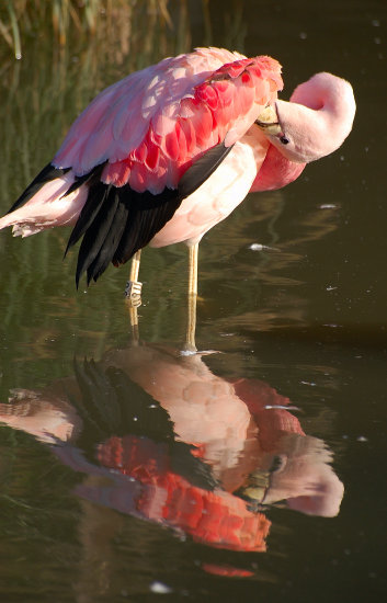 Flamingos carlsbirdclub gloucestershire birds wildlife