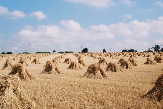 corn stooks field harvest thatch