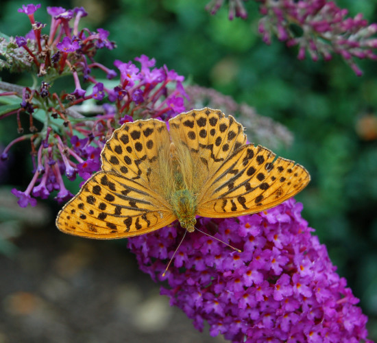 silverwashed fritillary butterfly rosemoor