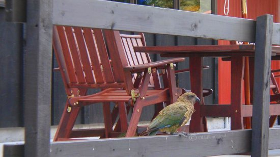 bird parrot kea new zealand native alpine attack destroy littleollie