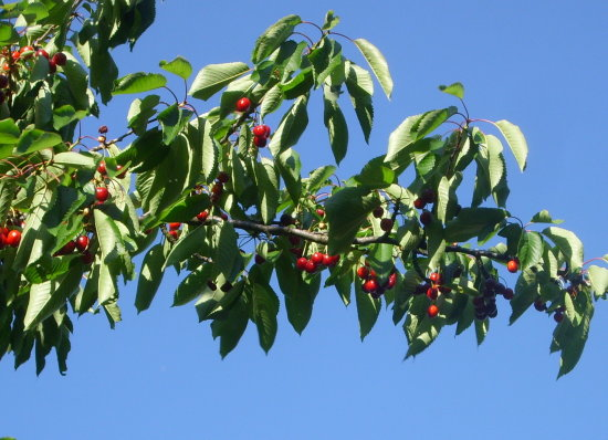 fruitfriday cherrytree