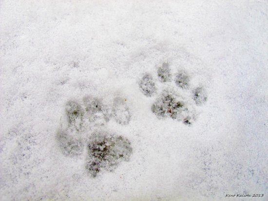 Cat Tracks Snow 2013 Skane Sweden Minus 2