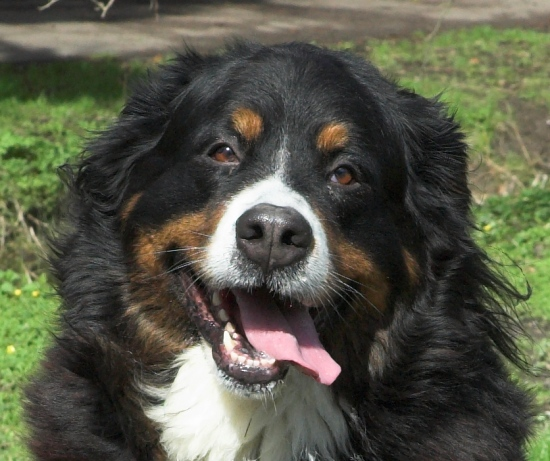 Our neighbour's Bernese - we're looking after her for the moment as the neighbour is in hospital....