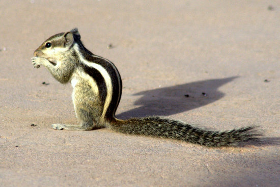 zespook lucknow india squirrel