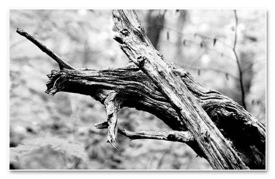 old tree yonghan grain bw
