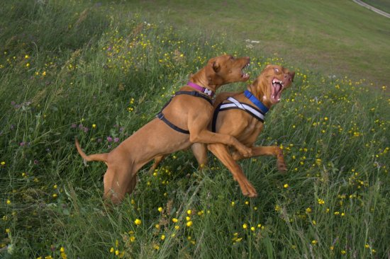 Vizsla DogsinAction dogs dog animals Anuschka Alvaro fight Vizslas animal