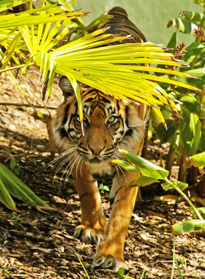 tiger tigress feline sumatran cat animal mammal nature wildlife
