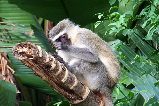 vervet monkey Trafalgar KZN South Africa