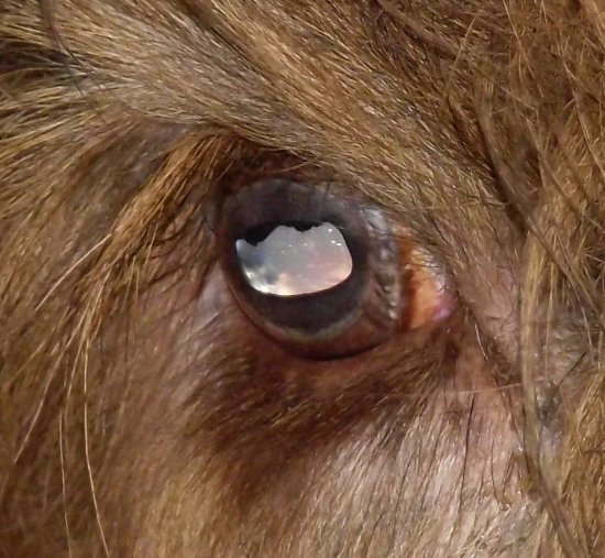animals bull eye reflection