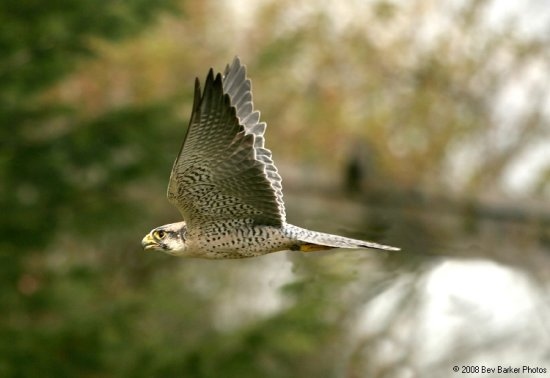 Lanner Falcon raptor bird of prey nature wildlife