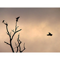 birds pink and grey cockatoos Kit tree silhouette littleollie
