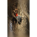 red headed woodpecker woodpecker birds outdoors swampdaddy