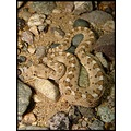 Neonate female sidewinder