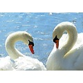 Swans water fowl swan waterfowl bird watercolor