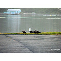 Sea Gulls Otago Harbour Littleollie