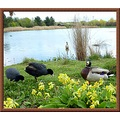 duck coots cowslips