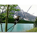 Bird Banff National Park