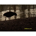 Bird River Shadow Coot
