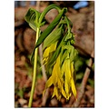 largeflowered bellwort wildflower yellow nature