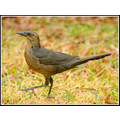 funfriday carlsbirdclub grackle bird avian backyard pankey wildspirit