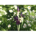 iris flower bloom purple