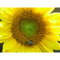 sunflowers yellow bee