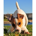 trixie boo biscut jrt jack russell terrier