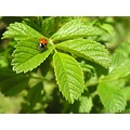 nature leaves ladybird brier
