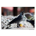 jackdaw bird nature park fountain summer heat nikon sigma pleven bulgaria