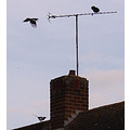 birds Magpie Crow roof aeriel chimney