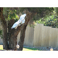 bird White Ibis fly perth littleollie