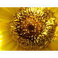 sunflower flower sunflower at UP Diliman sunflower seeds