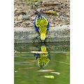 reflection bird eastern rosella water drinking