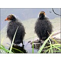 coots chicks birds