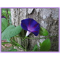 "Back in the Spring, my grandson planted some Morning Glory seeds that I thought would never ""come..."
