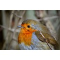 Wildlife Birds Robin