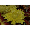 stlouis missouri us usa plant flower macro yellow 2006