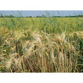 ear wheat landscape june italy violoncellistadelblu