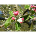 apple flower spring summer trre garden