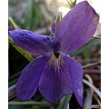 dog violet dogviolet spring flower wild nature