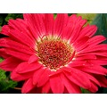 flower daisy nature green pink red flowers garden