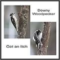 Downy Woodpecker bird woodpecker