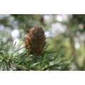 This pine is growing in my garden and I love these wee pine cones.  They are only about 4cm long