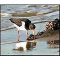 birds oystercatcher bird