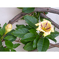 sandiego sdoldtownfph plant flower yellow oldtown yellowfph