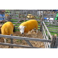 Sheep on show not dyed