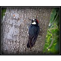 WoodPecker roncarlin