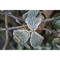 Frost Leaves Bramble